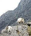 Frolicking Beneath Tryfan's Buttresses - geograph.org.uk - 239645.jpg