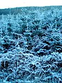 Frost Covered Conifers in White Hill Wood - geograph.org.uk - 638743.jpg
