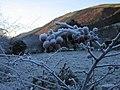 Frozen berries - geograph.org.uk - 1083819.jpg