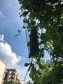 Fruit of Momordica charantia 20200903.jpg
