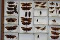 Fulgoridae Drawers - 5036701348.jpg