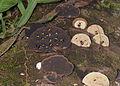 Fungus beetles on their fungi (Endomychidae - Eumorphus sp.) (24109907931).jpg