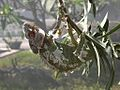 Furcifer verrucosus - Flickr - gailhampshire (1).jpg