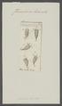Furcularia lacinula - - Print - Iconographia Zoologica - Special Collections University of Amsterdam - UBAINV0274 101 04 0017.tif