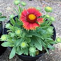 Gaillardia-arizona-red-shades-3748.jpg
