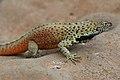 Galápagos lava lizard (4228994004).jpg