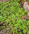 Galium rotundifolium 2006.07.06 15.02.45-p7060182.jpg