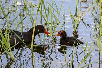A Gallinule with it's chick on a lake in central Florida. Taken by H. Blair Howell