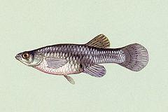 240px gambusia affinis 01