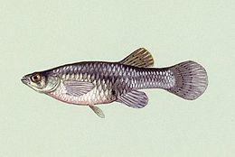 Gambusia affinis 01