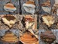 Ganoderma adspersum or G. australe or G.tornatum (GB= Polyporus Australis or Southern Bracket, D= Wulstige Lackporling, F= Ganoderme d'Europe, NL= Dikrandtonderzwam) brown spores and causes white rot, at Lichtenbeek i - panoramio (1).jpg