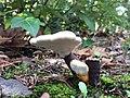 Ganoderma lucidum 29409279.jpg