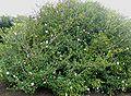 Gardenia thunbergia bush.jpg