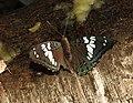 Gaudy Baron Euthalia lubentina Female by Raju Kasambe DSCN3130 (4).jpg