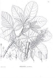 <i>Geissois</i> genus of plants