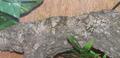 Gekkoninae Uroplatus sikorae camouflage horiz.png
