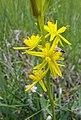 Gelbe Moorlilie (Narthecium ossifragum) Naturpark Südheide 20200704 (1).jpg
