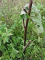 Gele Bloom 2 an'n Bullenbarg bi Nindörp 10.jpg
