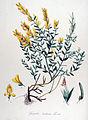 Genista tinctoria — Flora Batava — Volume v14.jpg