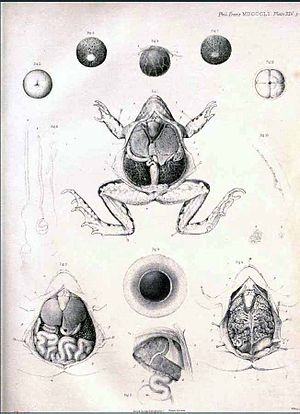 """George Newport - Plate from """"On the Impregnation of the Ovum in the Amphibia"""""""