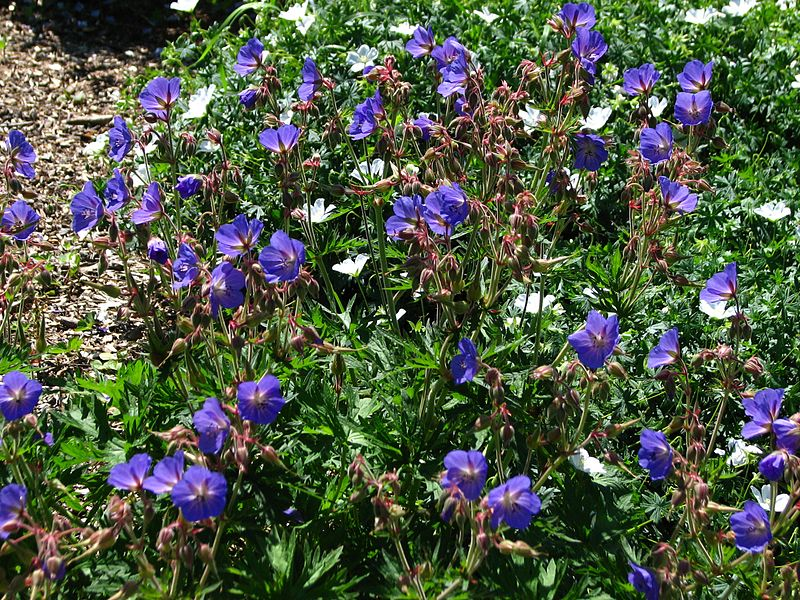 File:Geranium 'Johnson's Blue' 01.jpg