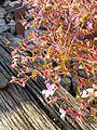 Geranium robertianum s. str. sl5.jpg