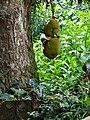 Gestreiftes Palmenhörnchen jackfrucht sri lanka 2017-10-24 (1).jpg