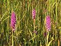 Gevlekte rietorchis (Dactylorhiza majalis var. junialis) bij Lauwersoog.jpg