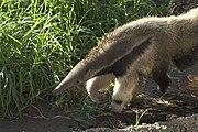 Giant Anteater Santa Barbara Zoo 1