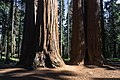 Giant sequoias in Giant Sequoia National Monument.jpg