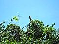 Gibbon - panoramio.jpg