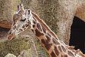 Giraffe03 - melbourne zoo.jpg