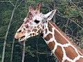 Giraffe (1682775031).jpg