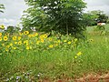 Girassol (Helianthus annuus) na Rodovia vicinal Pitangueiras-Viradouro - panoramio (2).jpg