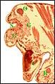 Glande clypéale d'Argyrodes ululans.jpg