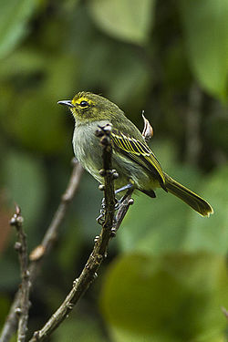Golden-faced Tyrannulet - Colombia S4E9917.jpg