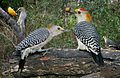 Golden-fronted Woodpecker from The Crossley ID Guide Eastern Birds.jpg