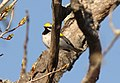 Golden-winged Warbler (male), Kate's Grade, Marquette Co., MI, 19 May 2015 (17915241585).jpg