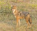 Golden Jackal at Rajkot.jpg
