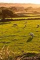Golden Sheep (22246253629).jpg
