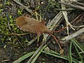 Gonocerus acuteangulatus (20137696569).jpg