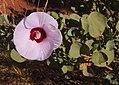 Gossypium sturtianum bloom.jpg