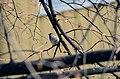 Gråspurv - house sparrow.JPG