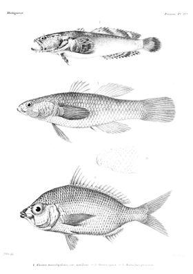GrandidierMadagascarFishes 0087.jpg