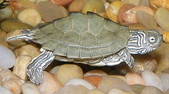 Cagle's map turtle - Graptemys caglei, male hatchling