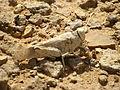Grasshopper camouflage (3977582343).jpg