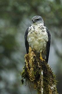 Grey-backed hawk species of bird