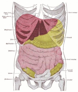 Liver span - Anterior view of the position of the liver (red) in the human abdomen.