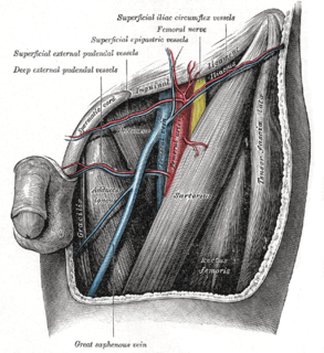 Superficial epigastric vein Large blood vessel