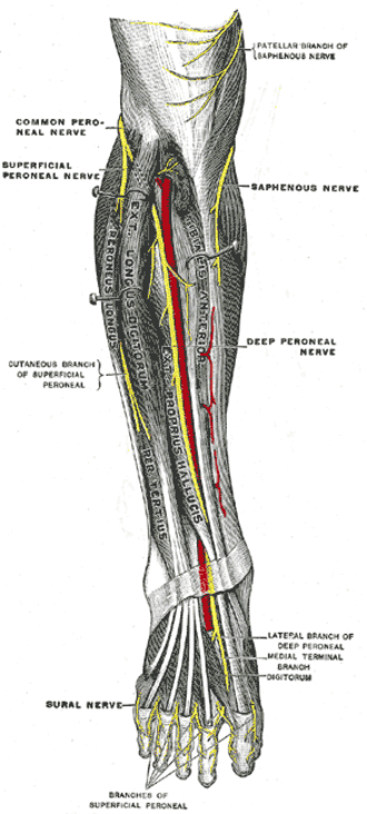 Deep peroneal nerve - Nerves of the right lower extremity Posterior view.